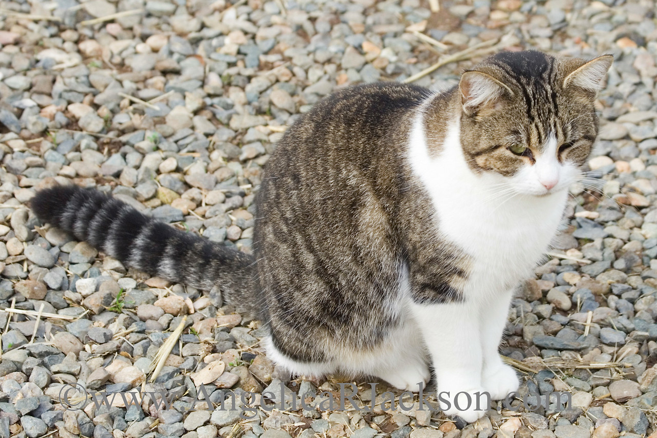 another_tabby_white