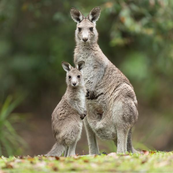 Eastern Grey Kangaroo mother and joey