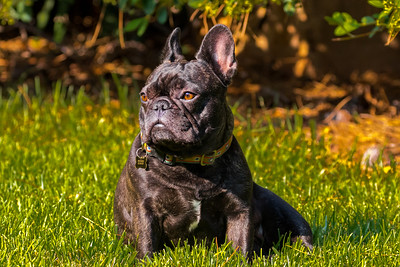 Rummy the Frenchie