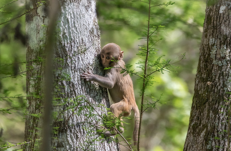 Young Rhesus macaque monkey at Silver Springs State Park