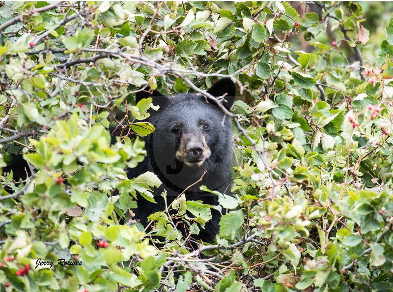 Black Bear in berry patch