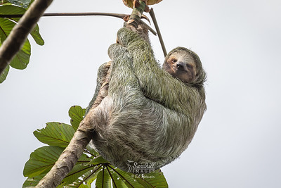 Happy-looking sloth