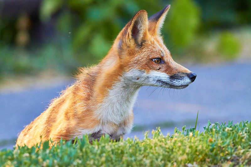 Red Fox Mother stalking Squirrel