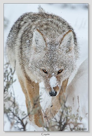 Coyote / Yellowstone National Park / Wyoming