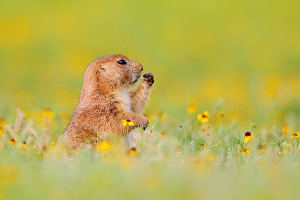 WL-115: Black-tailed Prairie Dog (Wichita Mountains NWR, OK)