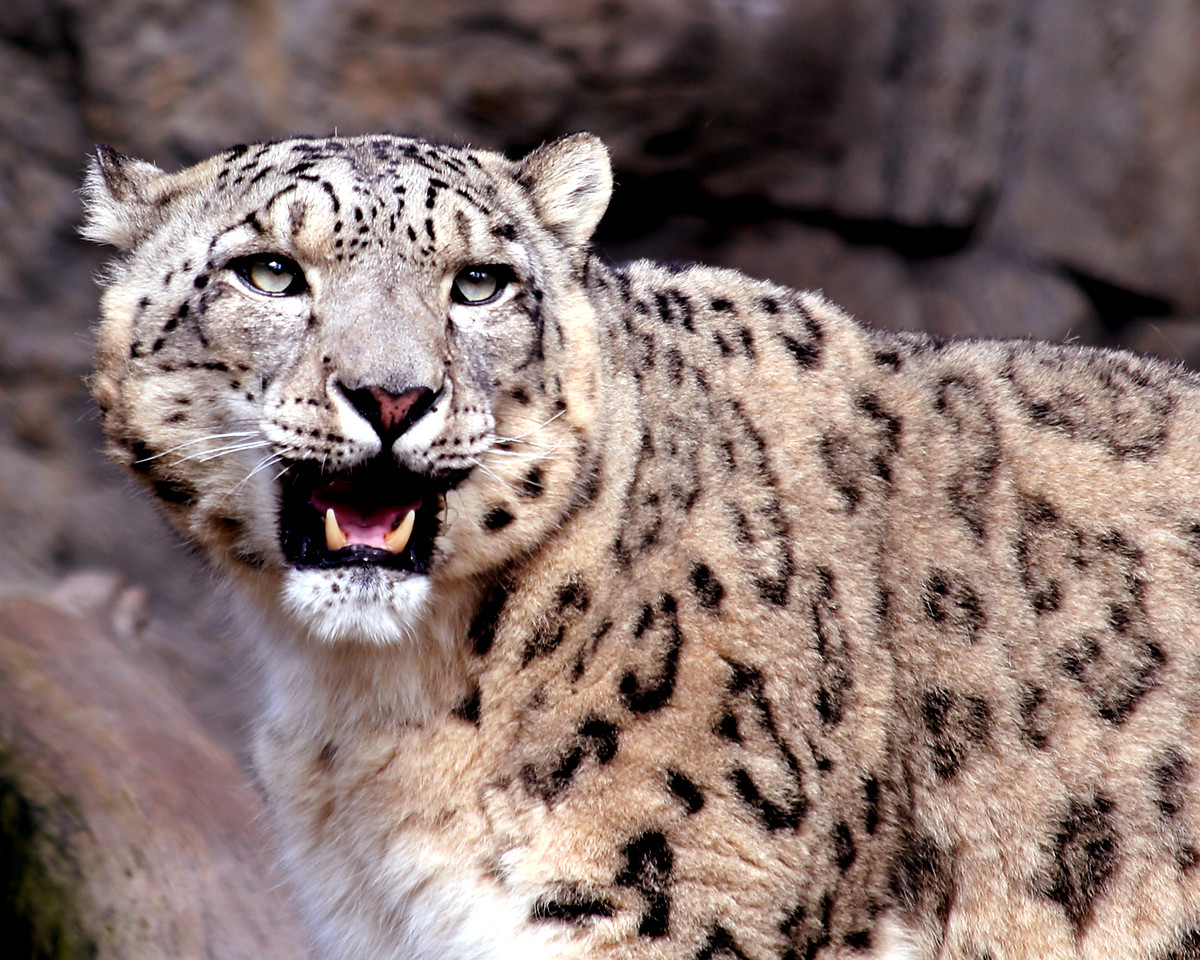 """""""Scent of a Leopardess""""  Snow leopard at the Sacramento Zoo."""