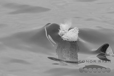 Killer Whale | Orcinus orca