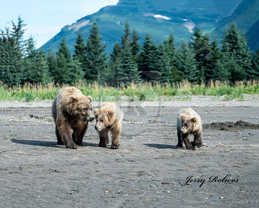 Alaskan Grizzly with two year old cubs