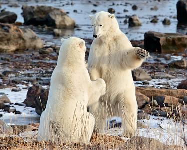 Polar Bears, Hudson Bay, Manitoba, Canada