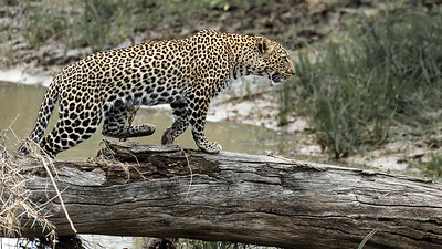 Leopard Crossing a Creek