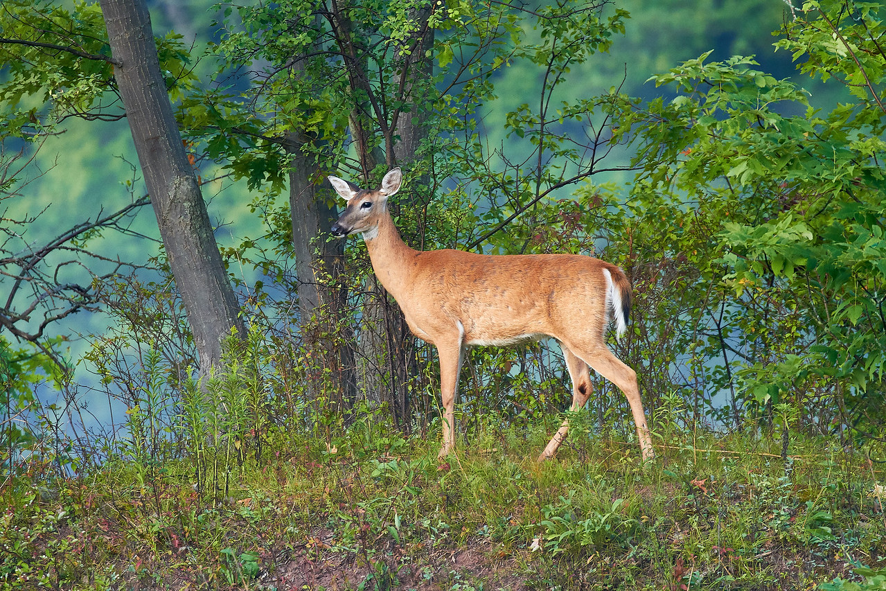 White Tailed Deer Doe
