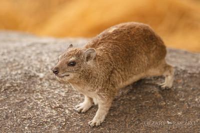 Rock Hyrax (procavia capensis)
