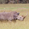 White or Wide-lipped Rhinoceros