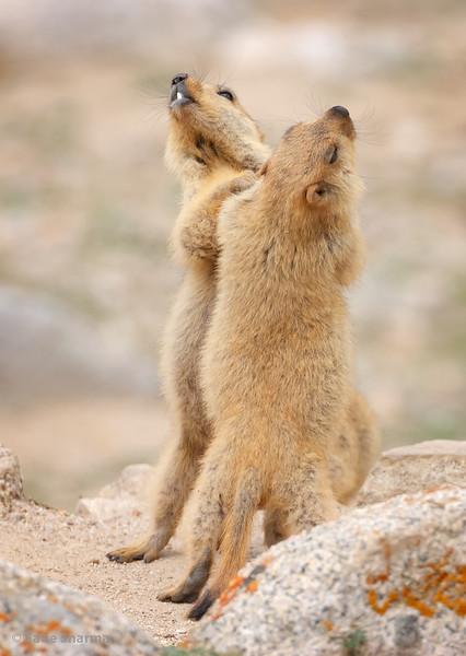 Himalayan Marmots