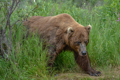 Alaska Brown Bear, Katmai National Park.
