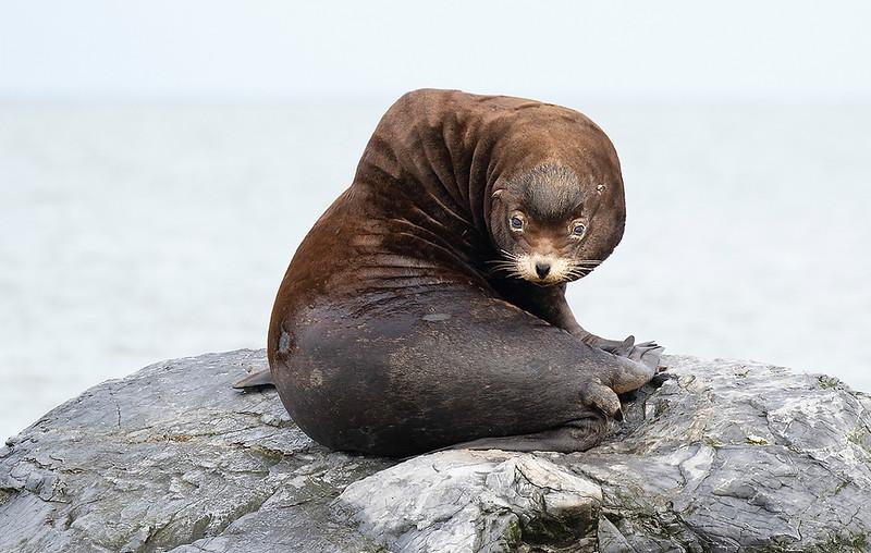California Sea Lion, male
