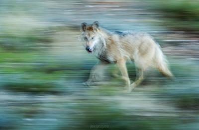 Iberian Wolf (Canis lupus signatus)