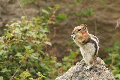 Golden-mantled Ground Suirrel