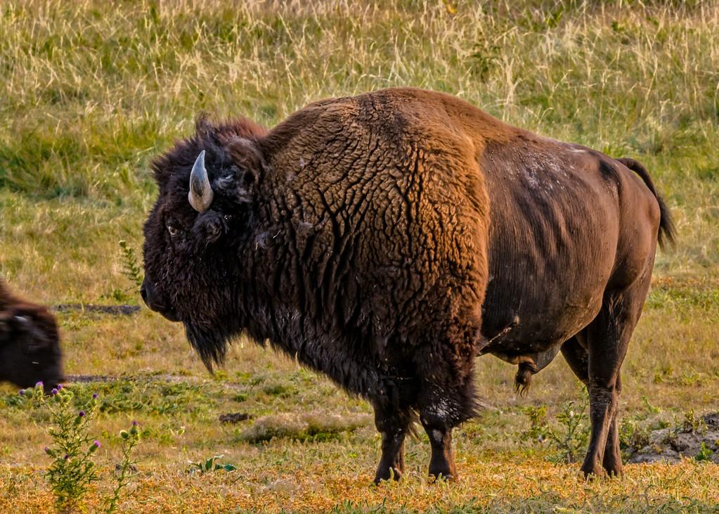 American Bison, Bison bison