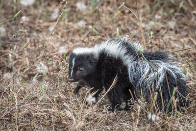 Striped Skunk, Point Reyes National Seashore.
