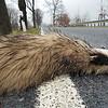 Badger (Meles meles), roadkill