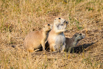 Blacktailed Prairie Dog, Cynomys lucovicianus