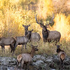 Elk family along Teton River