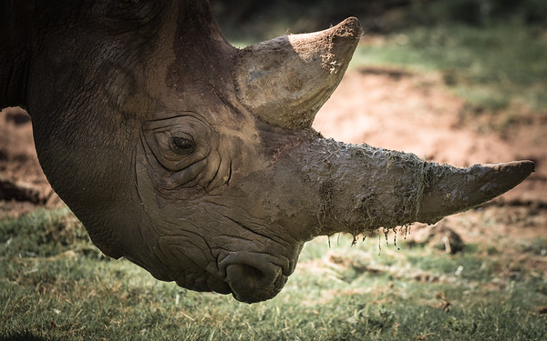 Dennis Stewart - Black Rhino Horn