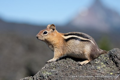 Golden-mantled Ground Squirrel 4352