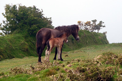 Exmoor pony mare and colt in Exmoor National Park, England