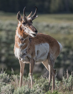 Pronghorn Antelope, Yellowstone,