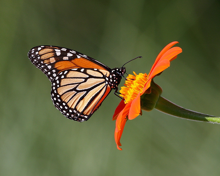 WL-139: Monarch on Mexican Sunflower