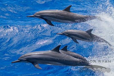Spinner Dolphin | Stenella longirostris