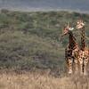 Lake Nakuru Giraffes
