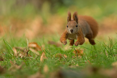 Red squirrel in fall