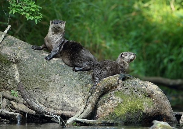 WL-121: Otter with Pup