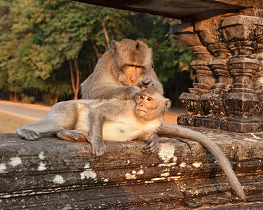 Macaque Monkeys, Ankor Wat, Cambodia