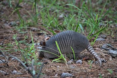 Dasypodidae - Armadillo
