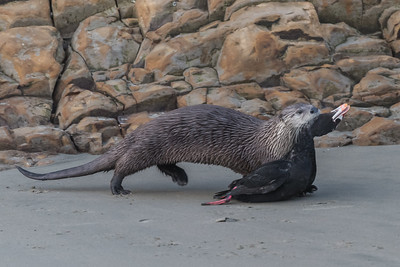 Northern River Otter with Surf Scoter, Point Reyes National Seashore.