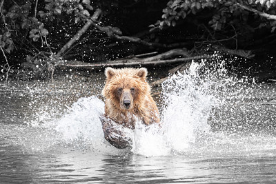 Grizzly Bear chasing Salmon in the Nakina River