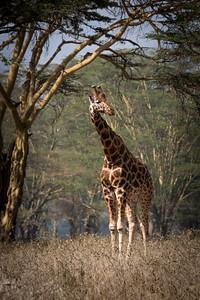 Lake Nakuru Giraffe
