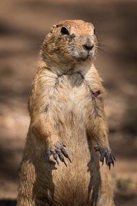 Dennis Stewart - Prairie Dog 4 2018