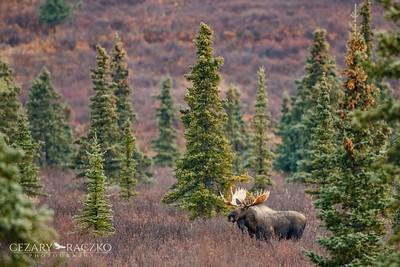 Moose (Alces americanus)