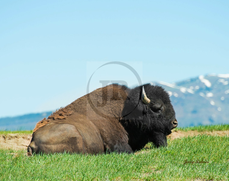 Male bull bison reclining