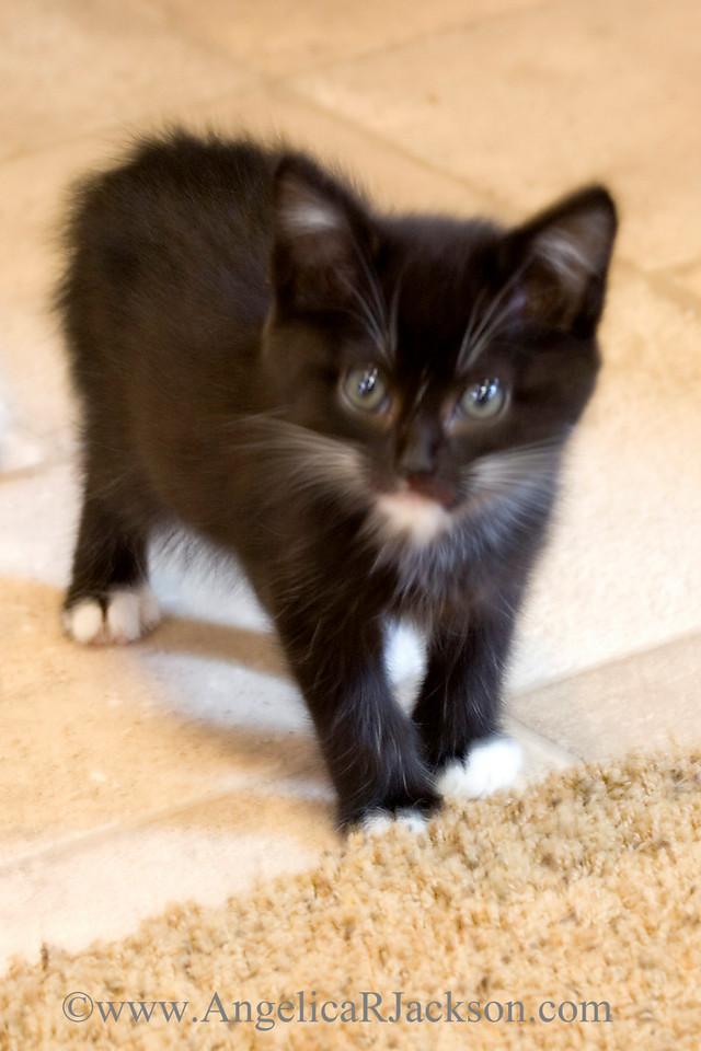 black_white_kitten