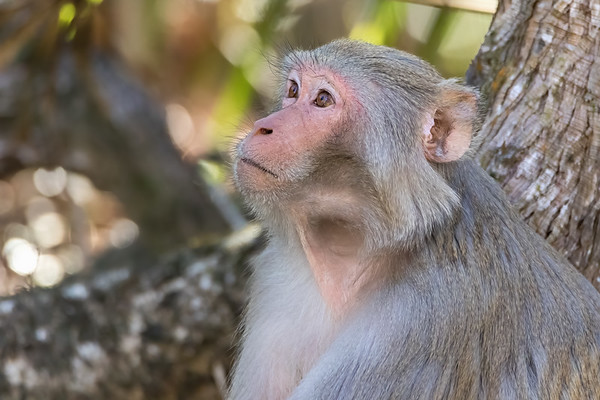 Rhesus macaque monkeys at Silver Springs State Park