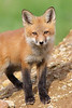 WL-007: Red Fox Kit