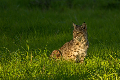 Bobcat, Point Reyes National Seashore.