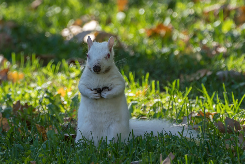 Snowball the albino squirrel