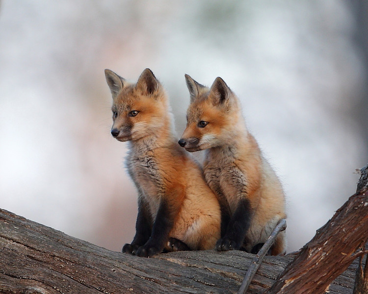 WL-082: Red Fox Kits